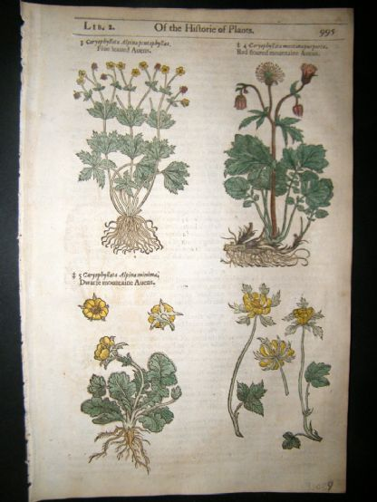 Gerards Herbal 1633 Hand Col Botanical Print. Caryophyllata, Cloves | Albion Prints